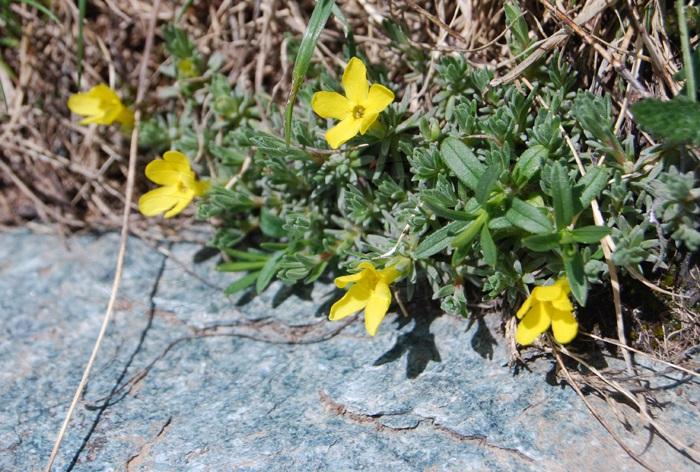 Vitaliana à  feuilles de primevère / Androsace vitaliana ssp. cinerea