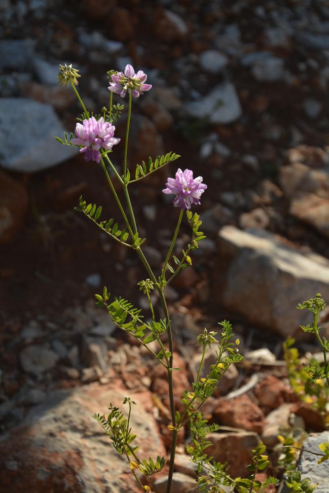 Astragale de Gremlin / Astragalus hypoglottis subsp. gremlii