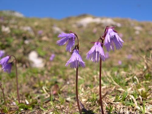 Alpine Soldanella / Soldanella alpina