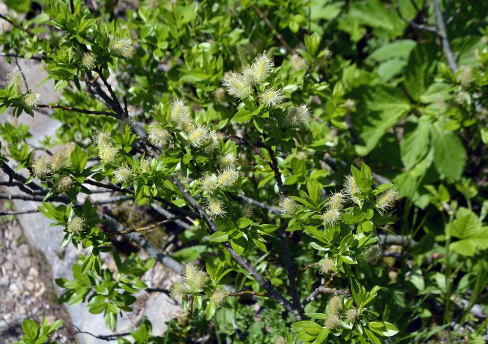 Hegetschweilers Weide / Salix x hegetschweileri  (Salix bicolor x myrsinifolia)