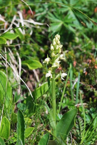 Orchis jaunâtre / Dactylorhiza ochroleuca