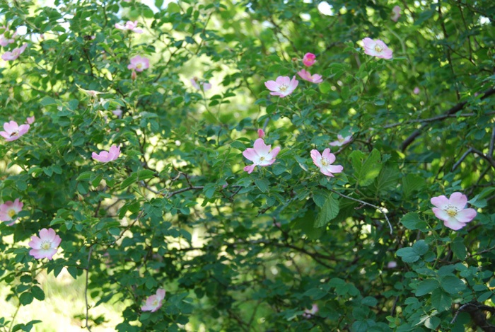 Dog Rose / Rosa canina