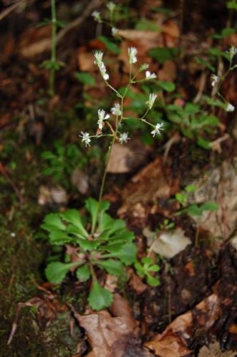 Saxifrage à feuille en coin / Saxifraga cuneifolia