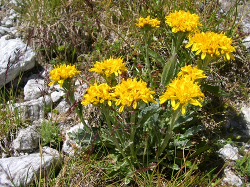 Kreiner Greiskraut / Senecio incanus ssp.carniolicus