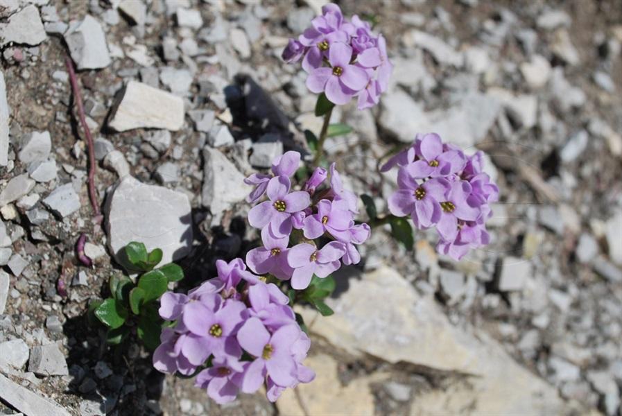 Rundblättriges Täschelkraut / Thlaspi rotundifolia ssp.rotundifolium
