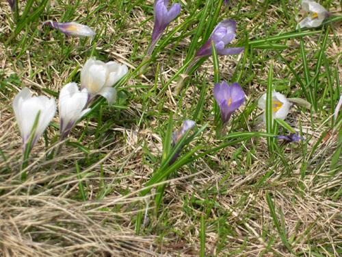 Frühlings-Krokus / Crocus albiflorus
