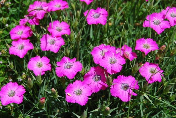 Oeillet oeil de paon / Dianthus pavonius