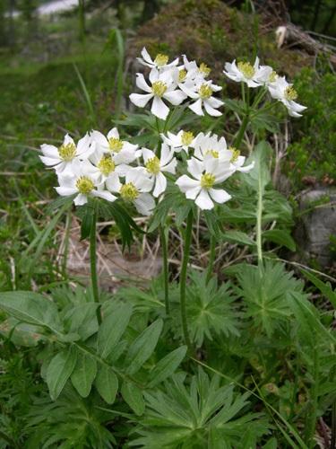Anémone à fleurs de narcisse / Anemone narcissiflora