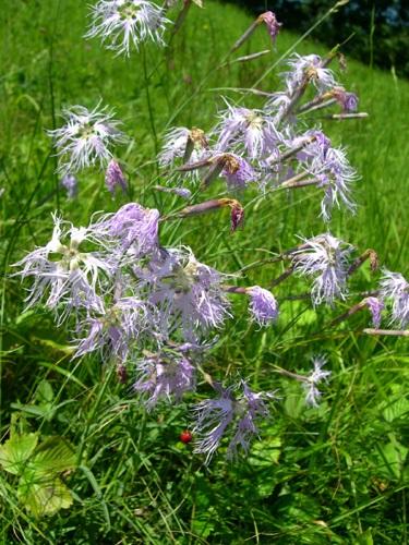 Prachtnelke / Dianthus superbus