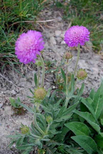 / Knautia purpurea