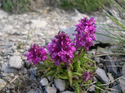 Quirlblättriges Läusekraut / Pedicularis verticillata
