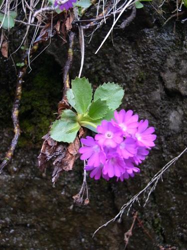 Primevère à gorge blanche / Primula hirsuta