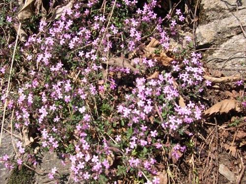 Rotes Seifenkraut / Saponaria ocymoides