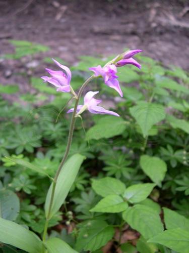 Rotes Waldvögelein / Cephalanthera rubra