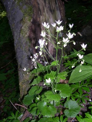 Round-leaved Saxifrage / Saxifrage rotundifolia
