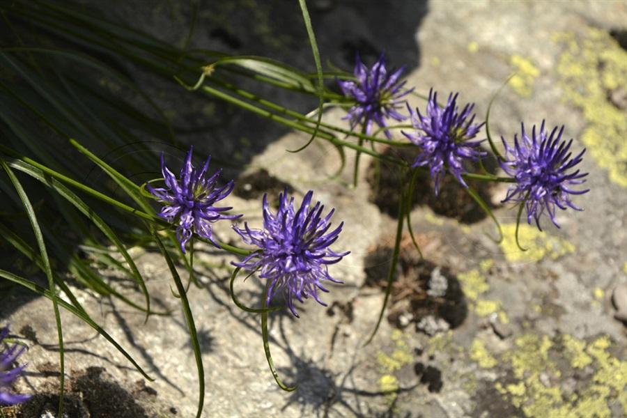 Raiponce de Scheuchzer / Phyteuma scheuchzeri ssp scheuchzeri