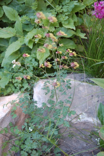 Stinkende Wiesenraute / Thalictrum foetidum