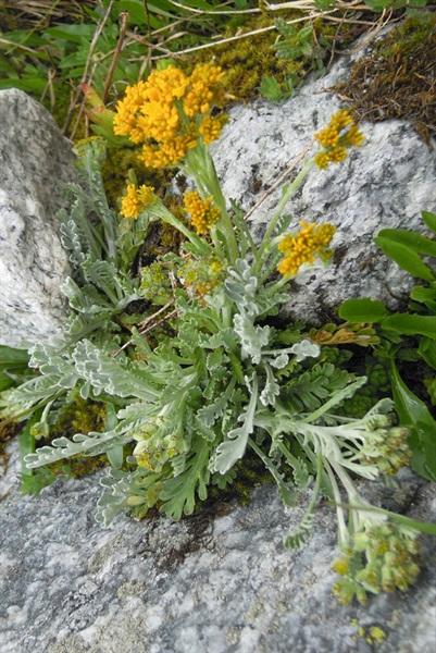 / Senecio incanus ssp. insubricus