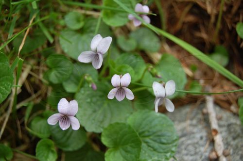 Sumpf-Veilchen / Viola palustris