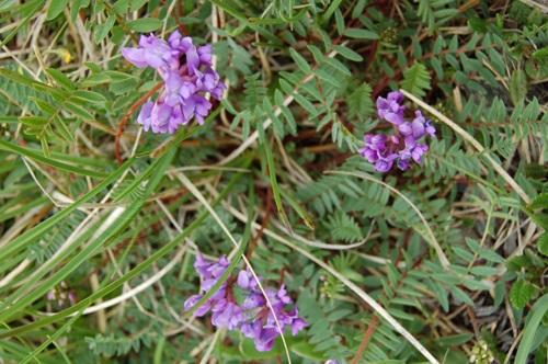 Astragale de Lienz / Astragalus leontinus