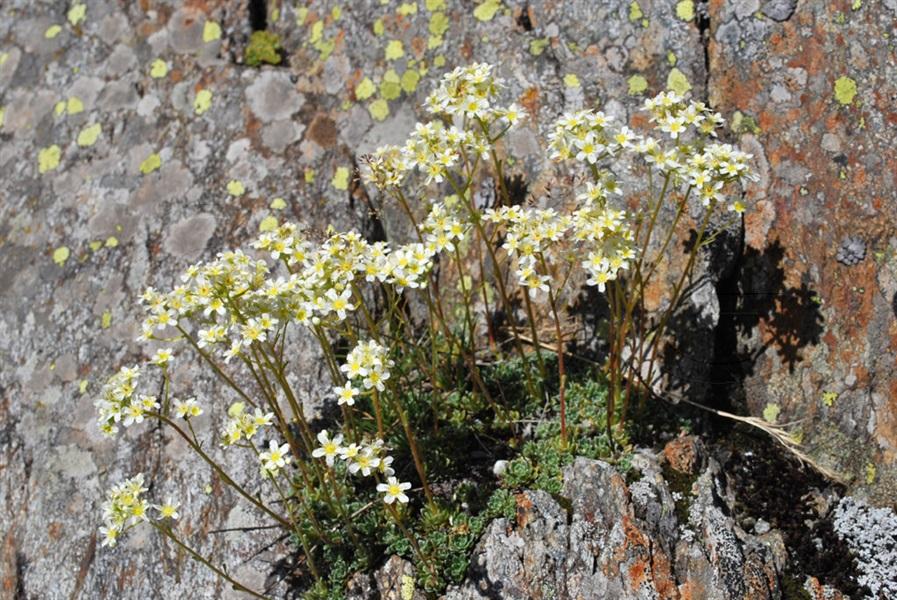Sassifraga alpina / Saxifraga paniculata