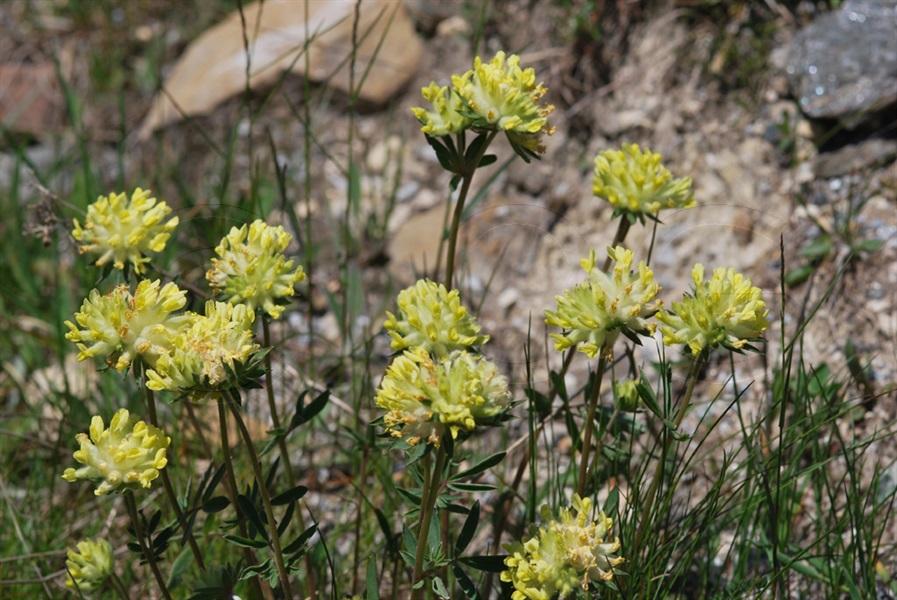 / Anhtyllis vulneraria ssp.valesiaca