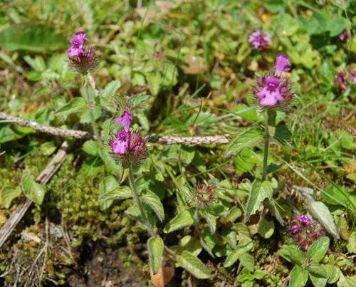 Sariette clinopode / Clinopodium vulgare