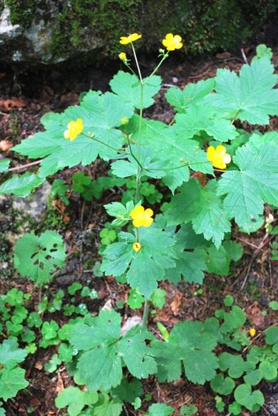 Woolly-leaves Crowfoot / Ranunculus lanuginosus
