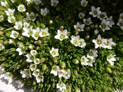 Zweiblütige Miere / Minuartia biflora