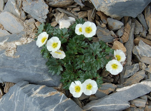 Renoncule alpestre / Ranunculus alpestris
