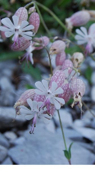 Alpen-Klatschnelke, Geröll-Leimkraut / Silene vulgaris ssp. glareosa
