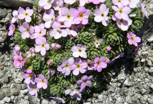 / Androsace alpina
