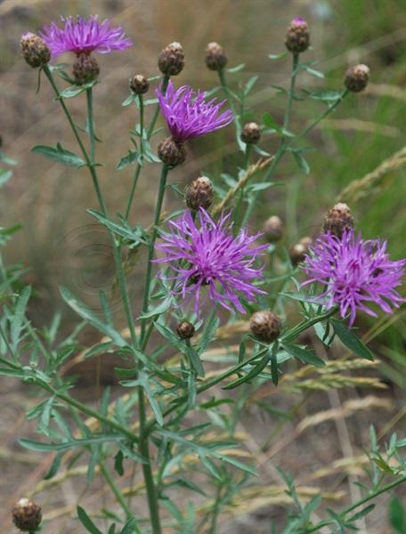 / Centaurea scabiosa ssp. alpestris