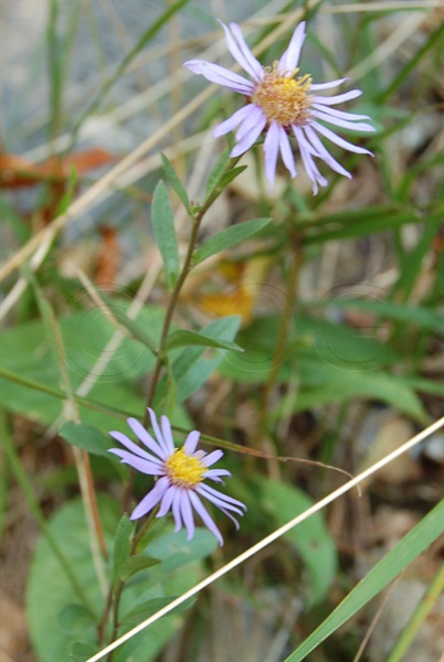 Aster amelle / Aster amellus