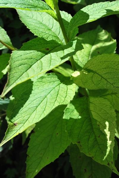 Campanule à larges feuilles / Campanula latifolia