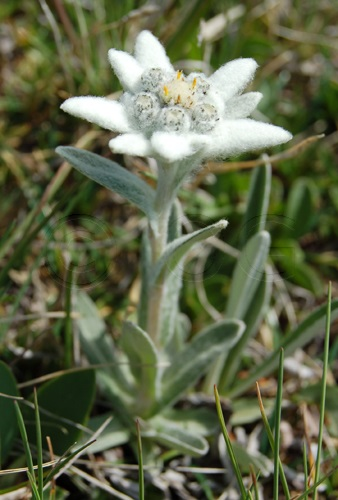 Edelweiss / Leontopodium alpinum