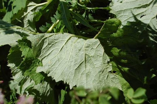 Adéstonyle à feuilles d