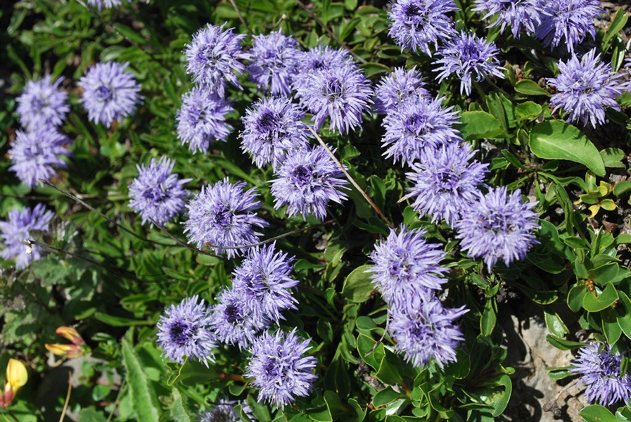 Heart-leaved Globe-daisy / Globularia cordifolia