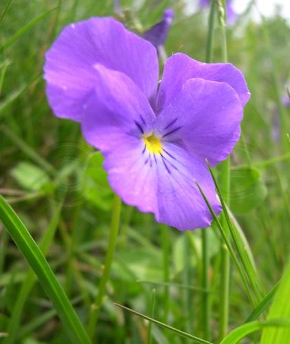 Langsporniges Stiefmütterchen / Viola calcerata