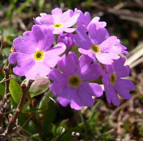 Primevère farinosa / Primula farinosa