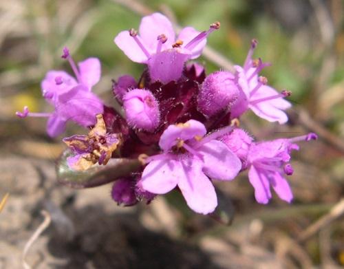 Frühblühender Thymian, Kriech-Quendel / Thymus praecox ssp.praecox