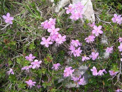 Zwergalpenrose / Rhodothamnus chamaecistus