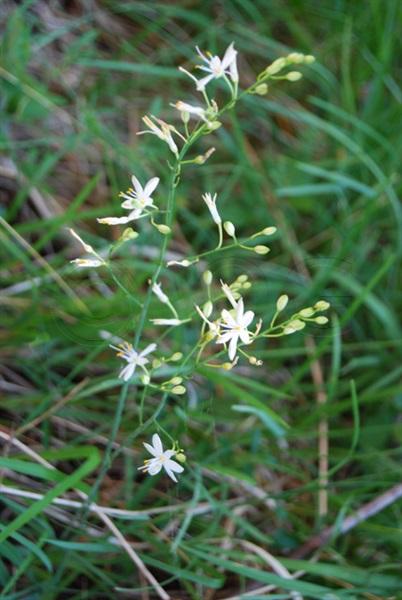 Ästige Graslilie / Anthericum ramosum
