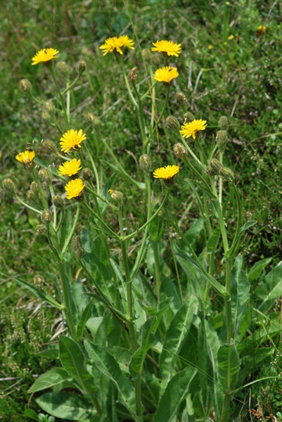 / Crepis conyzifolia