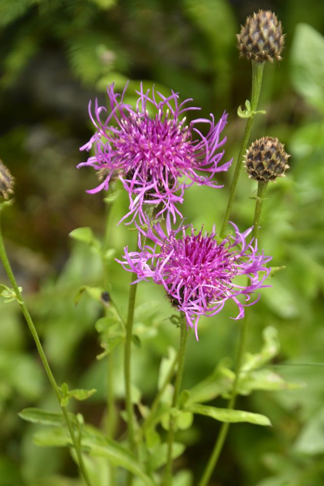 Centaurée alpestre / Centaurea scabiosa ssp. alpestris