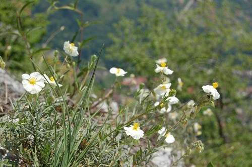 White Rock-rose / Helianthemum apeninum