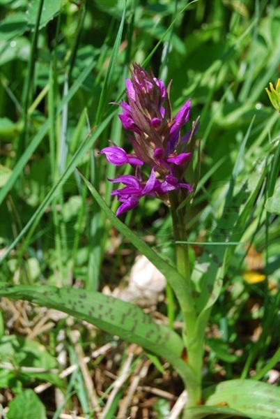 Orchide a foglie larghe / Dactylorhiza majalis