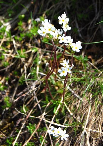 Briançon-Mannsschild / Androsace adfinis ssp. brigantiaca