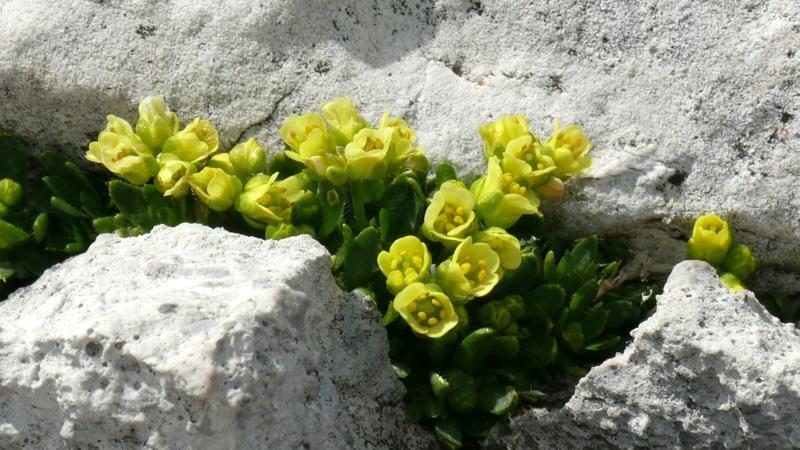 Dolomiten-Felsenblümchen / Draba dolomitica (Foto U.Müller)