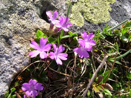 Ganzblättrige Primel / Primula integrifolia